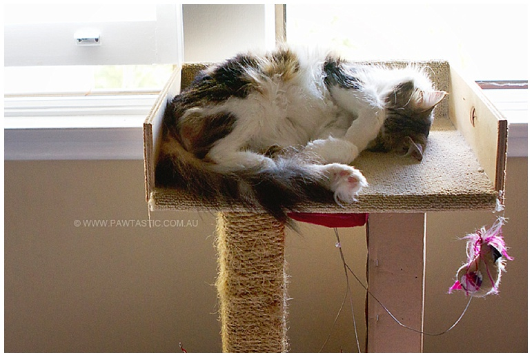Medium hair cat napping on cat tree/stand Sydney NSW pet photographer