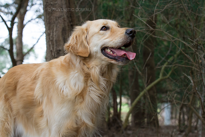 Professional pet photography of a golden retriever dog at Kelso Park, NSW