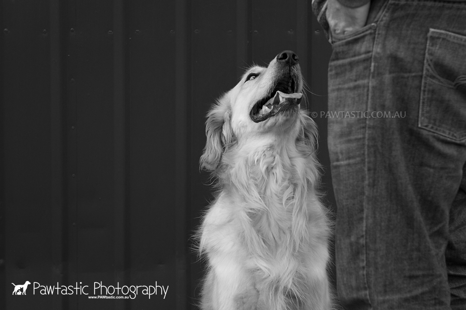 golden retriever dog looking at owner in black and white professional pet photography