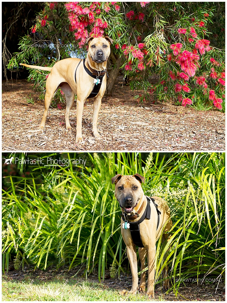 Sydney Park by Pawtastic Photography - Sydney Pet Photographer, dog photography of a shari pei mix