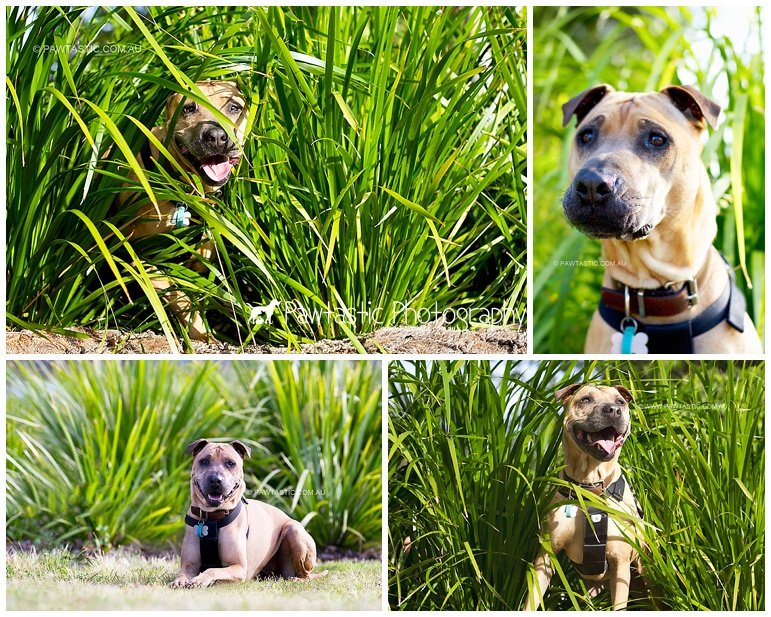 Professional dog photography capturing a shari pei mix dog in leafy grass in Sydney Park, St Peter's