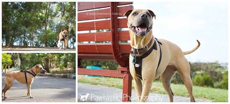 Dog photography of shar pei mix rescue photographed in Sydney Park by Pawtastic Photography - Sydney Pet Photographer