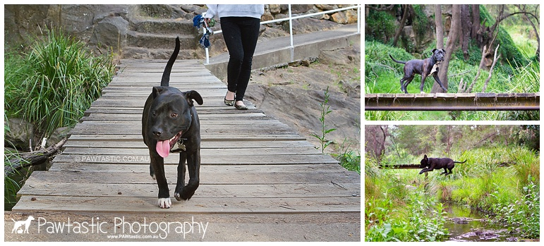 staffordshire bull terrier puppy running in a park sydney pet dog photographer