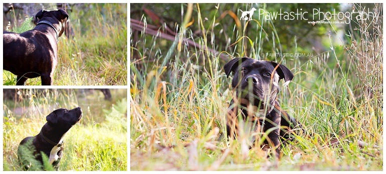 staffordshire bull terrier staffy puppy/dog sitting in a park sydney pet photographer