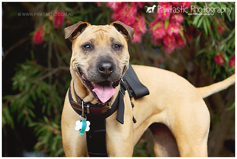 Female shar pei mix rescue photographed in Sydney Park by Pawtastic Photography - Sydney Pet Photographer dog photography