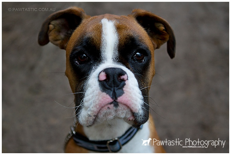 Male Boxer dog puppy at Henry Lawson Reserve, Picnic Point Sydney pet photographer