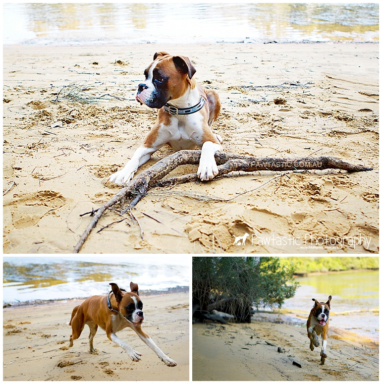 Male Boxer dog puppy at George's River in Henry Lawson Reserve, Picnic Point Sydney pet photographer