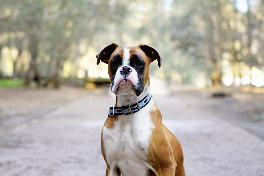 boxer dog sitting in sun drenched park | Pawtastic Pet Photography