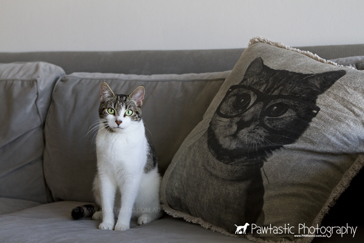 gray and white tabby cat sitting on lounge with kitten cushion