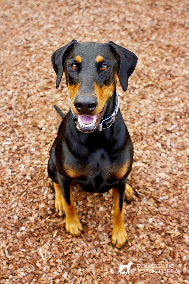 Doberman dog sitting on bark in Sydney Park | Pawtastic Photography