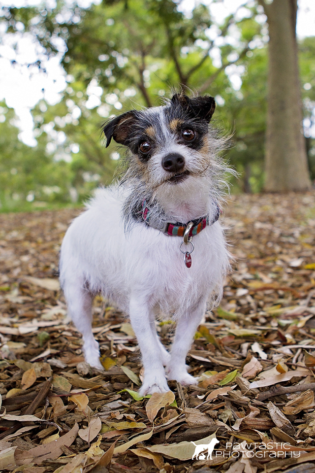 Little white dog standing on leaves in a park for pet portraits | Sydney Pet Photography