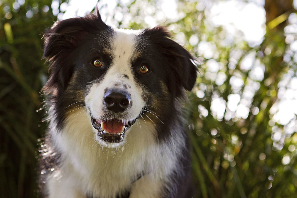 Black and white Border Collie dog sitting in Sydney Park during the Dog Days of Summer with Pawtastic Photography | Sydney Pet Photographer