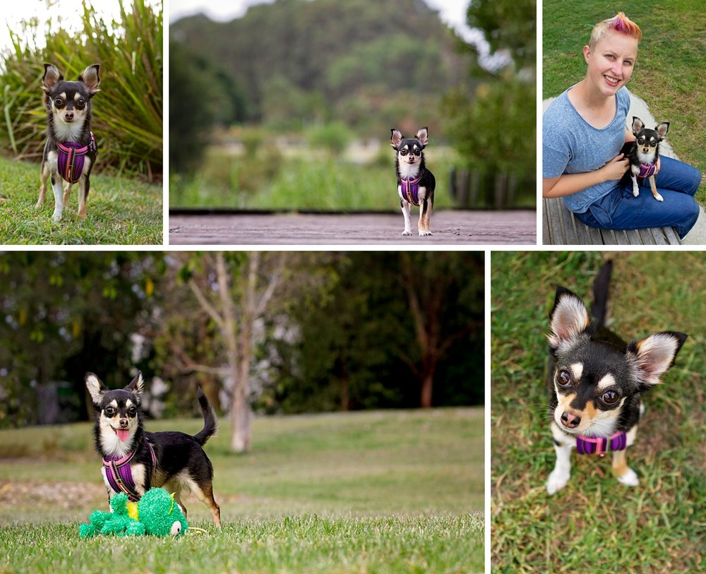 Little chihuahua dog, Squishy, with her owner during her Dog Days of Summer photo session with Sydney based pet photographer, Pawtastic Photography