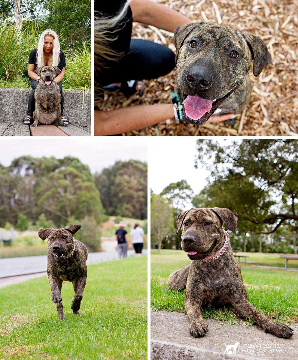 Brindle Staffy dog, Tigerr, playing in Sydney Park with his mum during his professional photoshoot with Pawtastic Photography, a Sydney based pet photographer