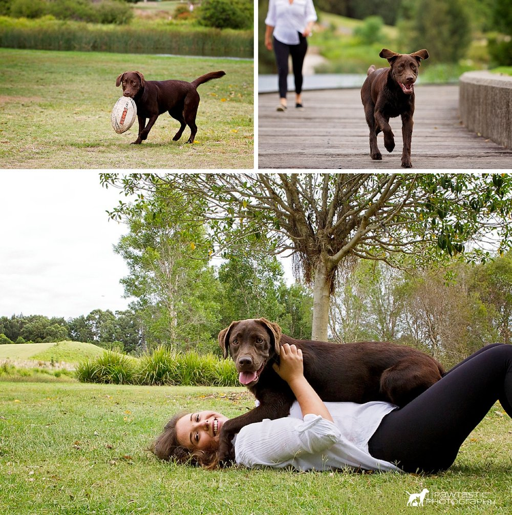 Chocolate Labrador dog, Athena, plays on the green grass with her football, runs along the boardwalk and cuddles on top of her owner in the grass while getting her photos taken by Pawtastic Photography.