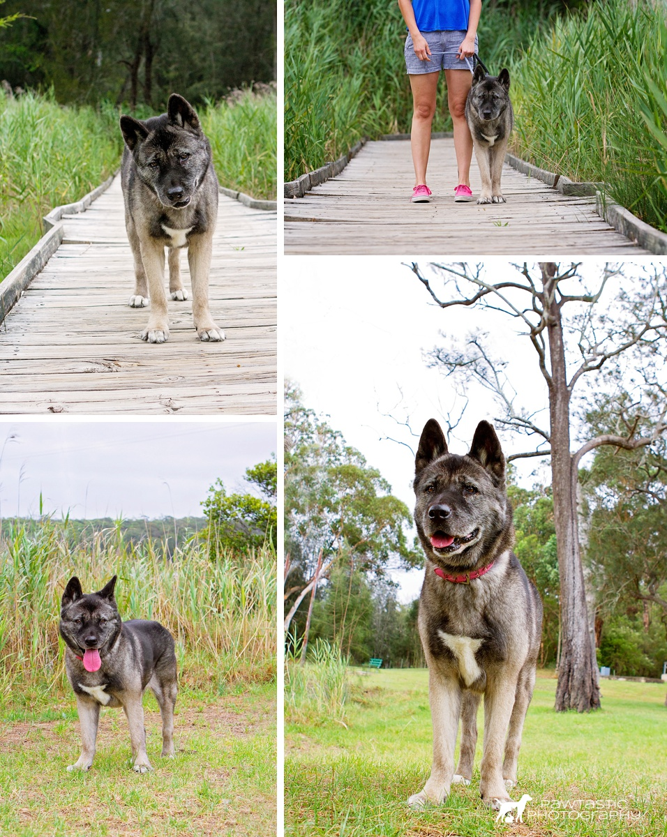Senior Akita dog, Akira enjoys her photoshoot with professional pet photographer, Pawtastic Photography
