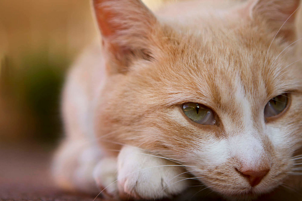 Close up professional photo of a friendly, outgoing Ginger cat