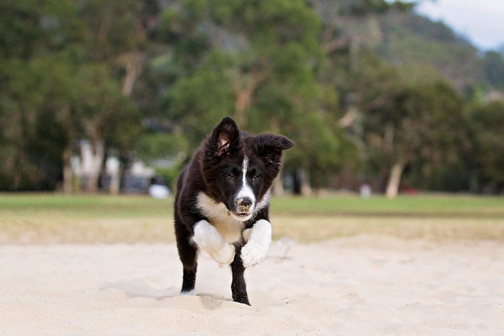 Border collie dog running straight towards the camera during a photoshoot in the Sutherland area