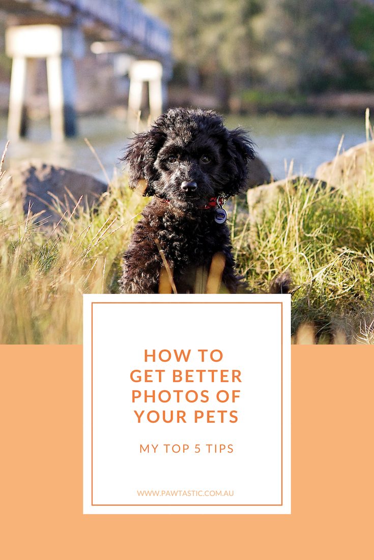 Learn my top 5 tips to getting better photos of your own pets with Sydney based pet photographer, Pawtastic Photography.