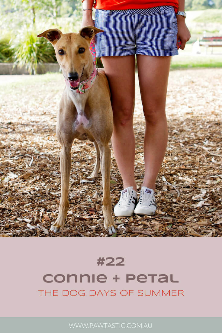 Fawn coloured greyhound rescue dog, Petal stands next to her owner in Sydney Park for her professional pet photography session during the Dog Days of Summer with Pawtastic Photography