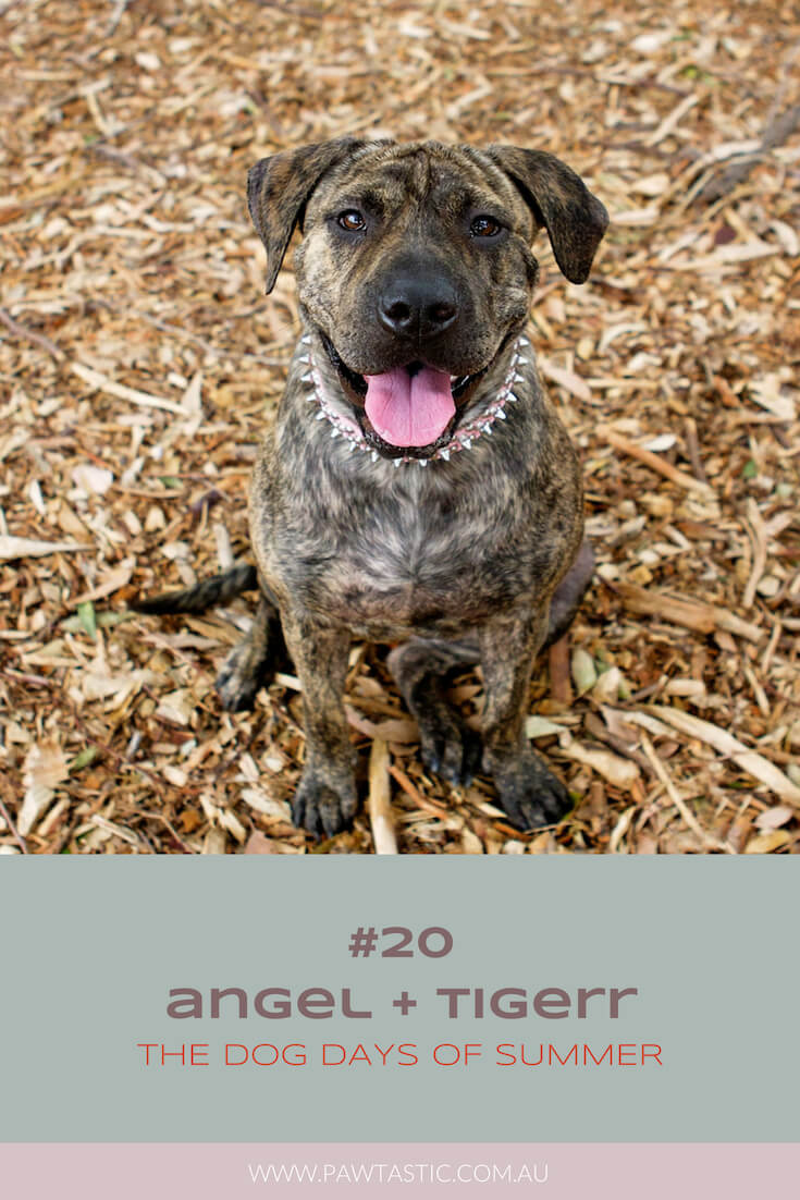 Brindle striped staffy named Tiger smiling at the camera during his professional pet photography Dog Days of Summer session with Pawtastic Photography | Sydney Pet Photographer