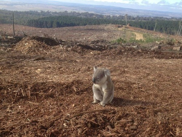 Photo 02: A koala in its deforested former habitat. Source.