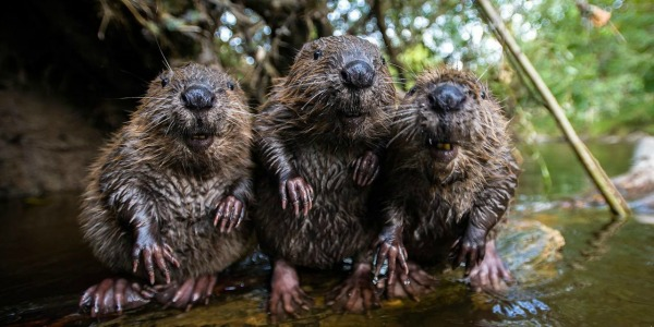 Photo 05: These beavers, luckier than culled badgers in the same country, are experimentally re-introduced to the British countryside. Source.