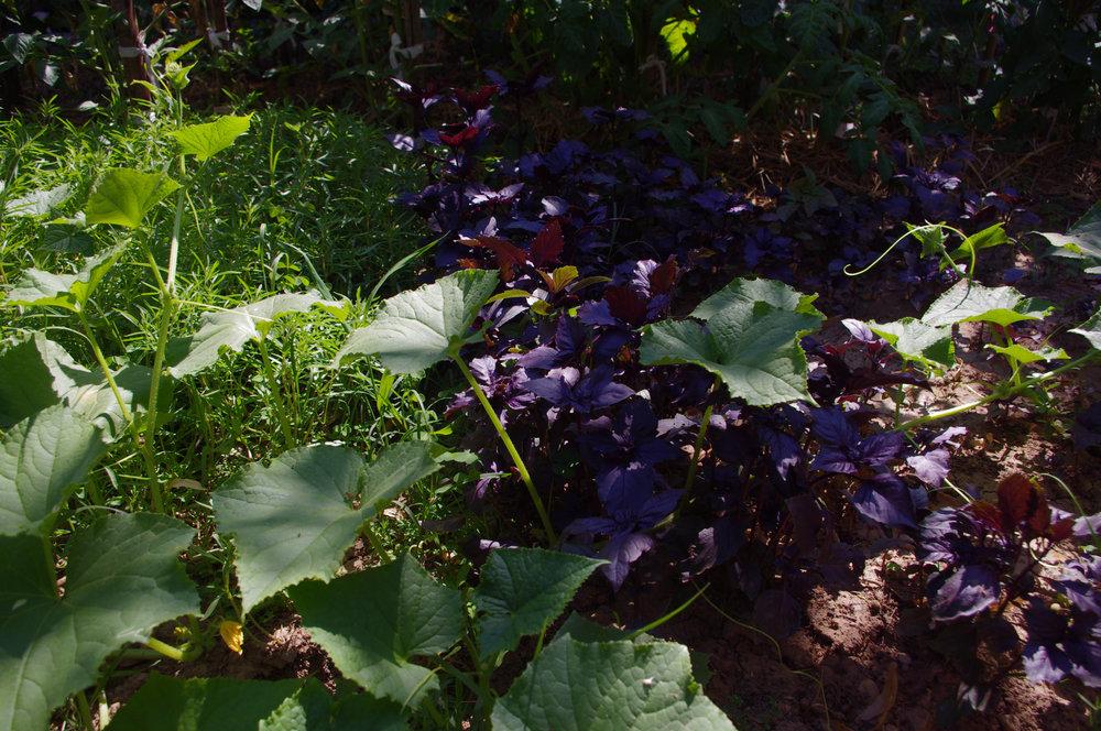 """Basilici """"Ararat"""" dans un jardin potager."""
