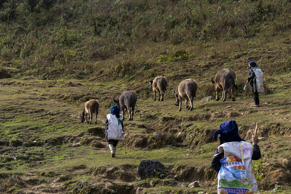 yuanyang_rice_terraces_buffalo