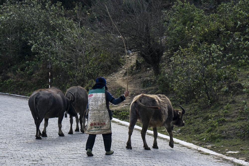 yuanyang_hike_buffalo