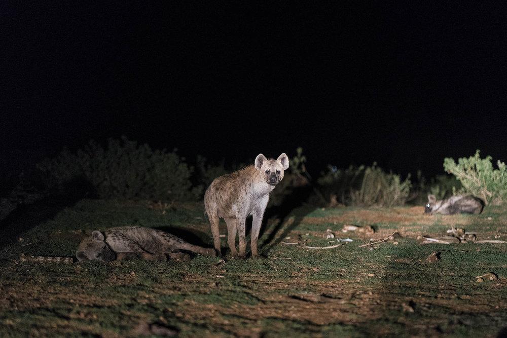 Hyena_04615.jpg
