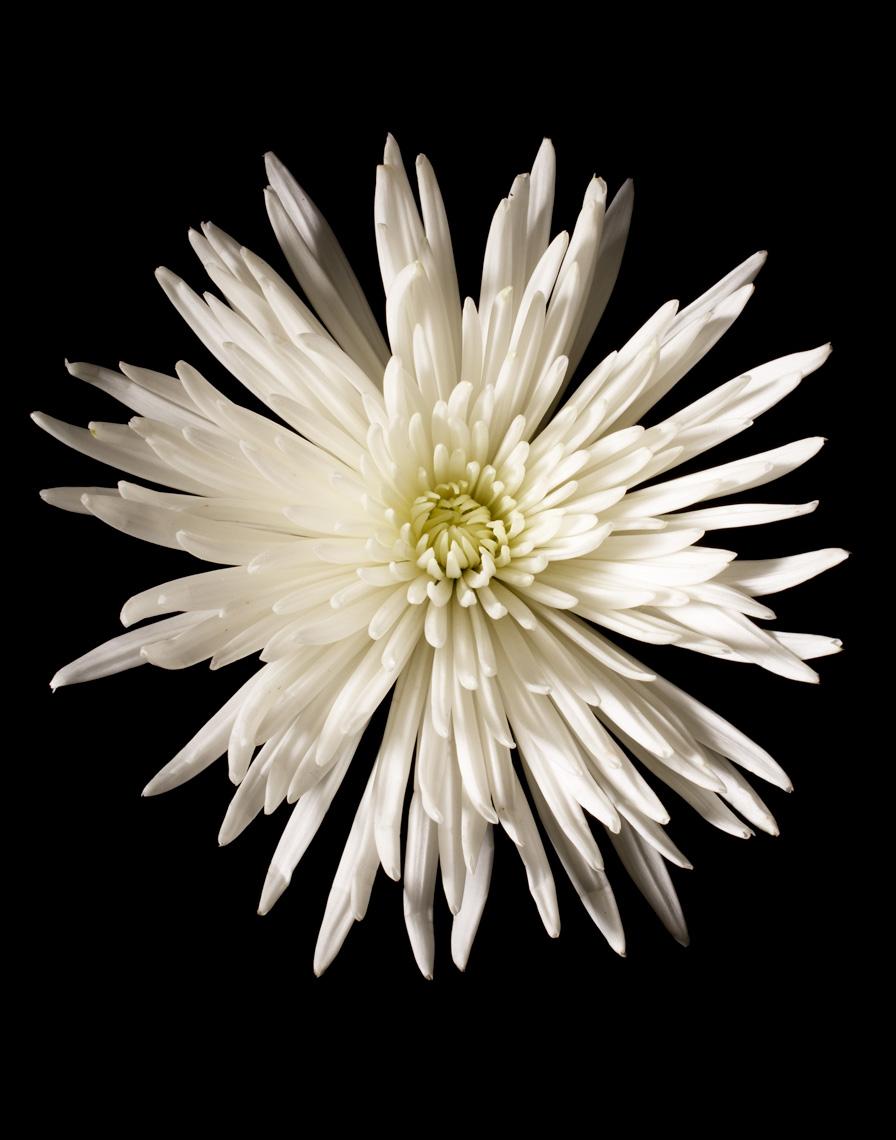 STU0709-050109-chrysanth-095_print.jpg