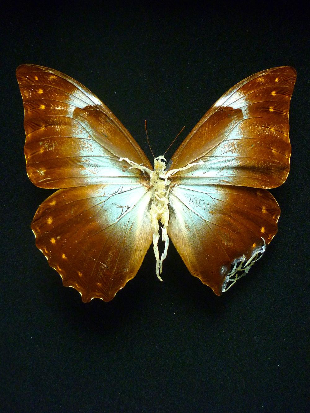 """Lionel Sabatté, """"Sombre réparation #17"""", papillon abîmé, ongles, peaux mortes, épingle et boîte à spécimen, 26 x 19,5 x 7 cm, 2013"""