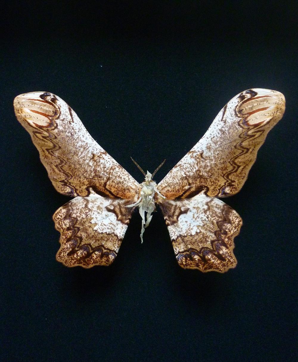 """Lionel Sabatté, """"Sombre réparation #21"""", papillon abîmé, ongles, peaux mortes, épingle et boite à spécimen, 26 x 19,5 x 7 cm, 2013"""