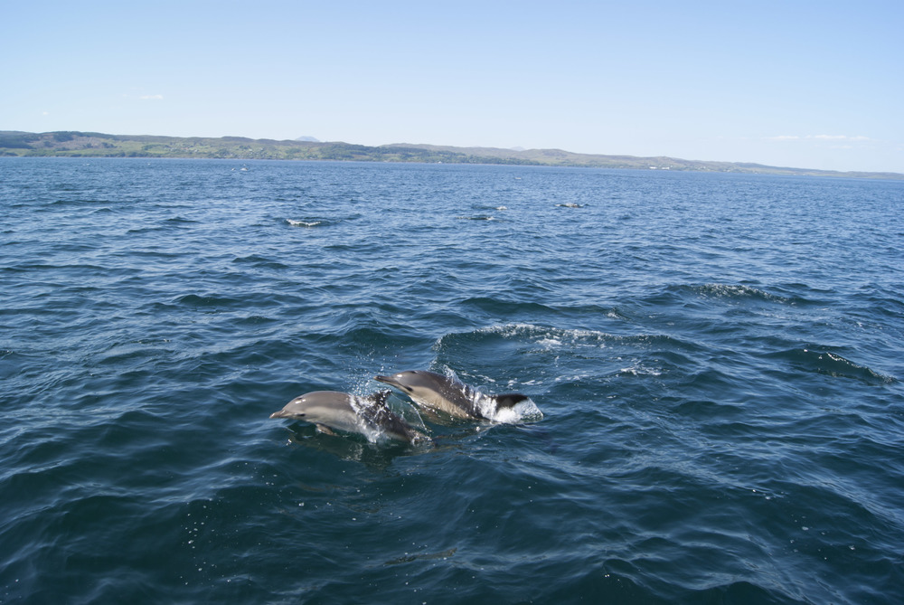 dolphins going past in the Sound.jpeg