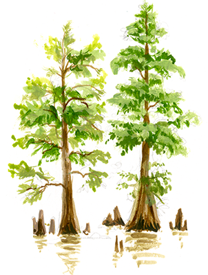 Chinese Swamp Cypress ( Glyptostrobus pensilis ).