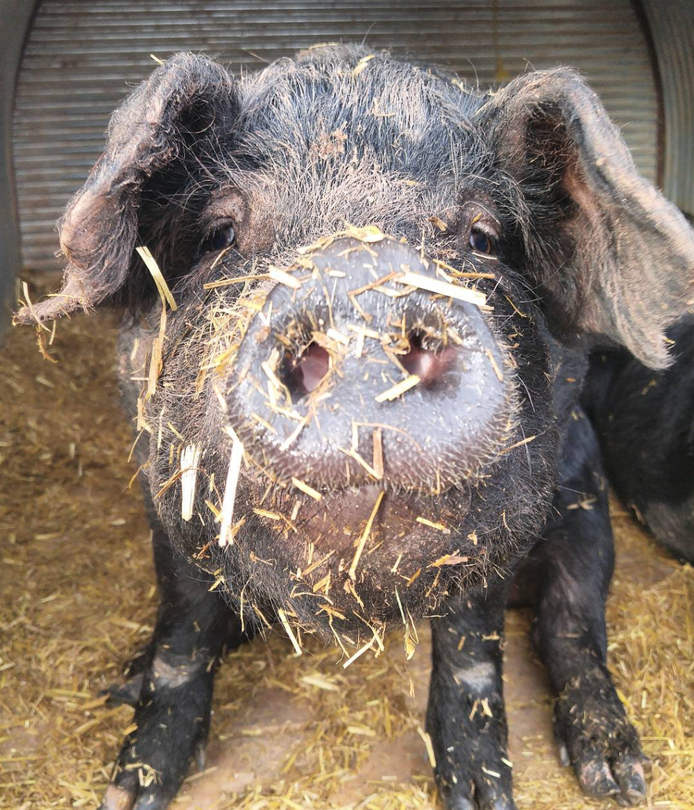 Mangalitsa with straw on nose