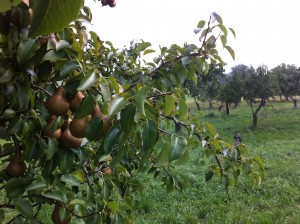 Potts Farm Pears