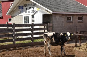 One of the registered Holstein heifers at Shenandoah Farm