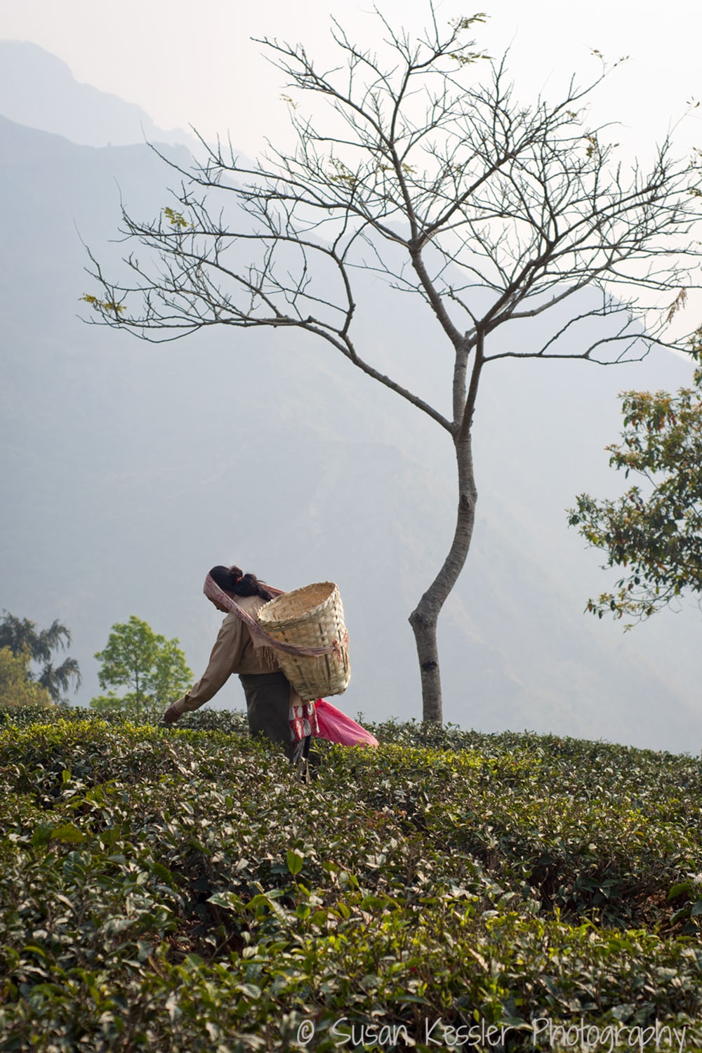 In the Tea Fields