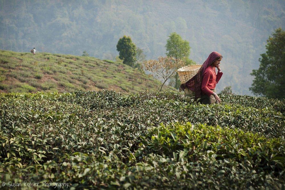 Woman in Tea Fields