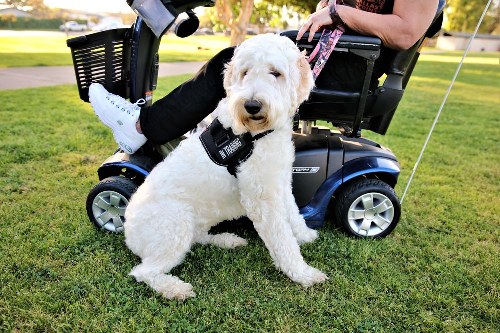 A white labradoodle service dog sits at the feet of her human handler who sits in her wheelchair.