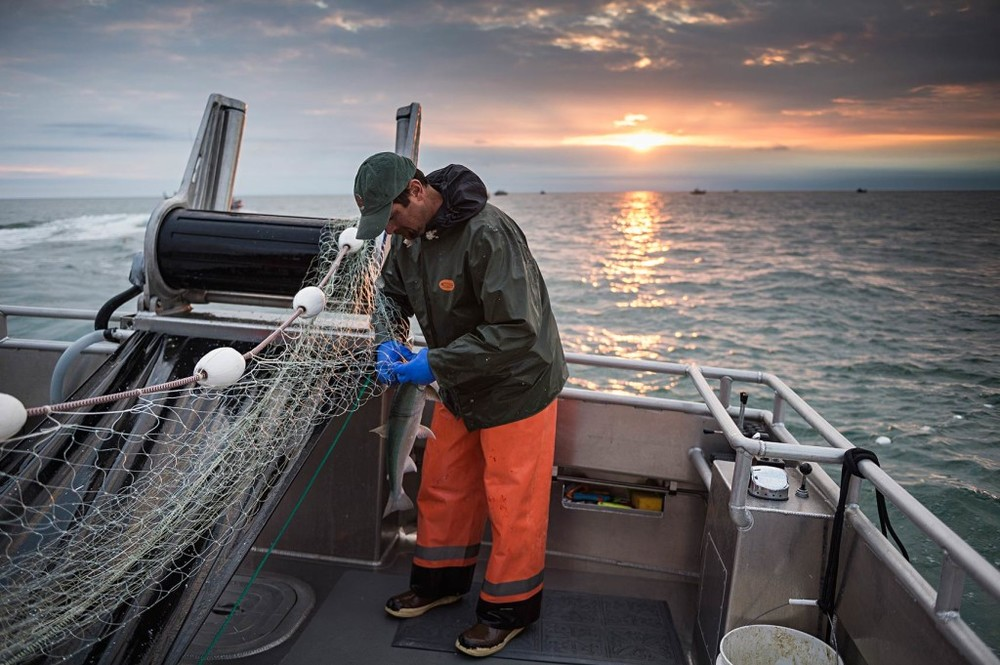 Aaron Opp picks a fish as the sun sets and the fishing period wraps up for the evening. The days are long in Alaska this time of year. Today (June 30th), first light was at 4:14 AM and last light will be at 12:51 AM tomorrow!