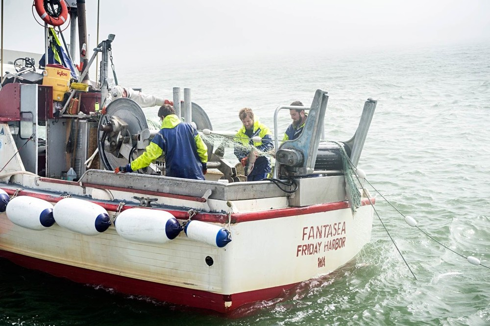 The crew of the Fantasea, a veteran vessel of the Egegik district's north line fishery, pick sockeye as they come aboard on a calm, misty day.