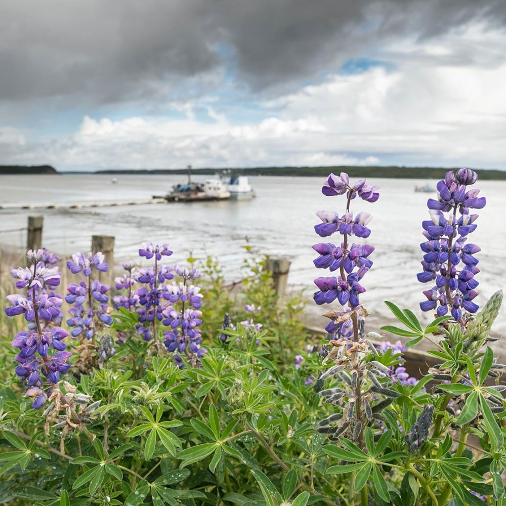 It has been pouring rain here for the last few days, but overall it's been a dry spring in Southwest, Alaska. The lupines are blooming on the banks of the Naknek River.
