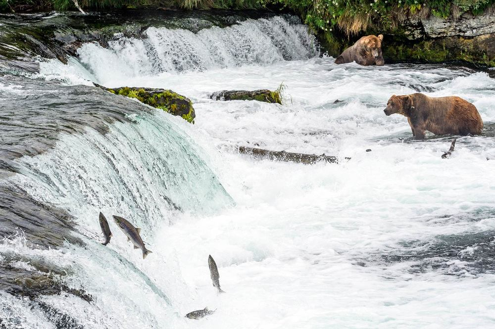 Sockeye salmon attempt to jump over Brooks Falls in Katmai National Park. Making it past hundreds of nets and hungry brown bears, millions of sockeye make it up river to the lakes and streams of Bristol Bay to spawn the next generation of salmon.