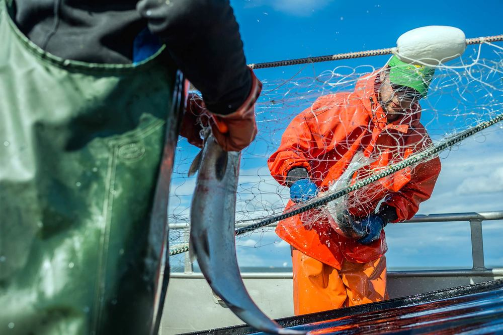 Alex Stewart, Portland, OR, picks a sockeye from the net   as it comes aboard the F/V Selma.