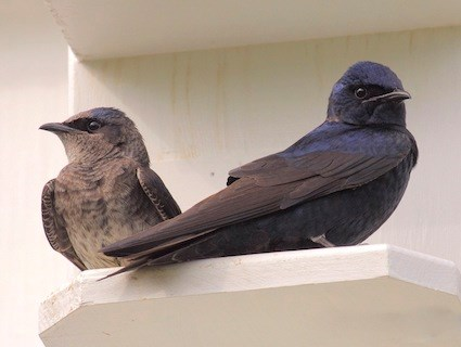 Female & Male Purple Marting