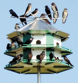 201103-purple-martin-colony.jpg