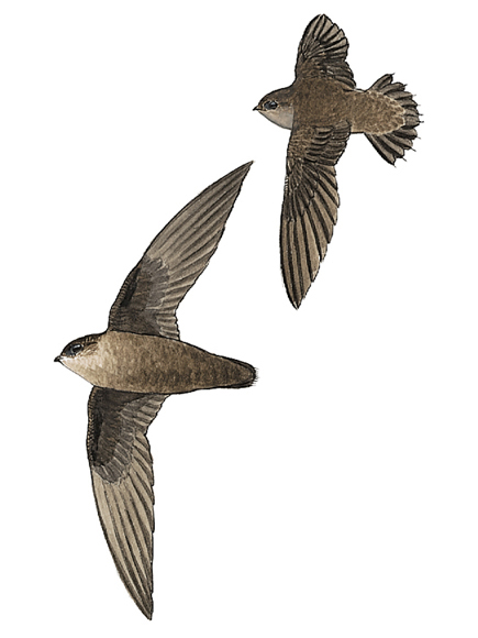 chimney-swift_17137_435x580.jpg